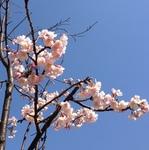 安行桜.JPG